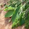 Introducción al Cultivo de Plantas Aromáticas y Afines
